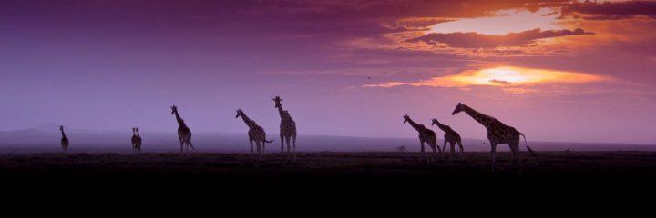 cropped-the-magic-of-ol-pejeta-giraffes-by-denzil-mackrory.jpg