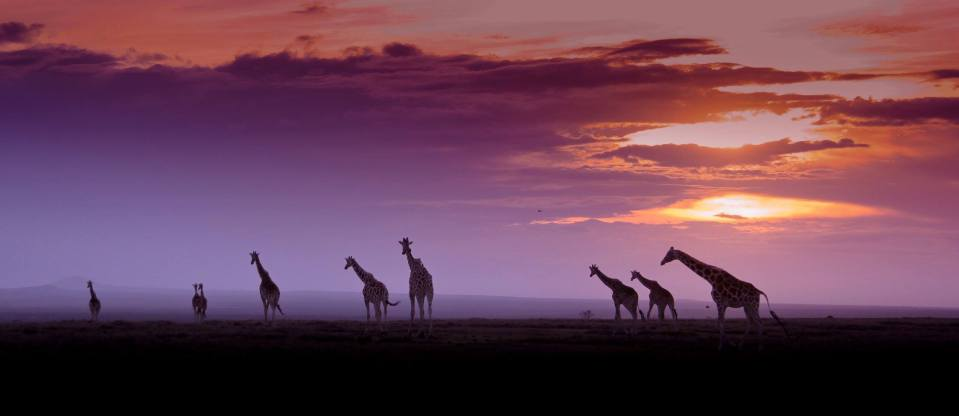 The magic of Ol Pejeta-Giraffes by Denzil Mackrory..jpg